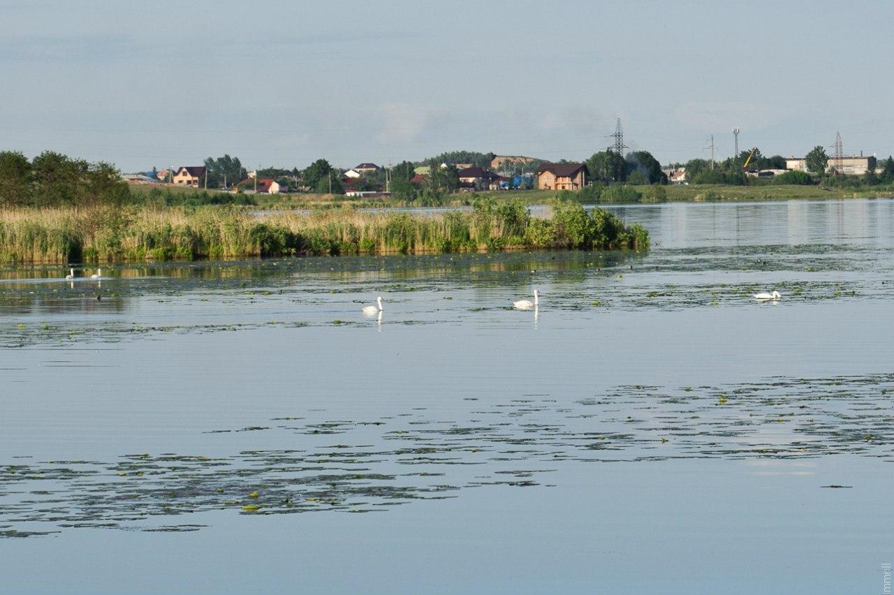 Лебеди на озере Иртяш