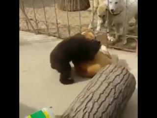 Медведь против собаки(медведь борец)