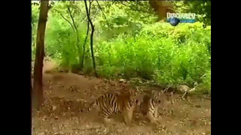Discovery TV Обезьяна издевается над тигрятами надирает им уши и тянет за хвост