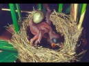 Common Cuckoo chick ejects eggs of Reed Warbler out of the nest