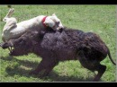 Питбули атакуют кабана. Бои животных. Невероятно! pit bull vs a wild boar