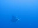 Манта на рифе Daedalus видео с моего сафари