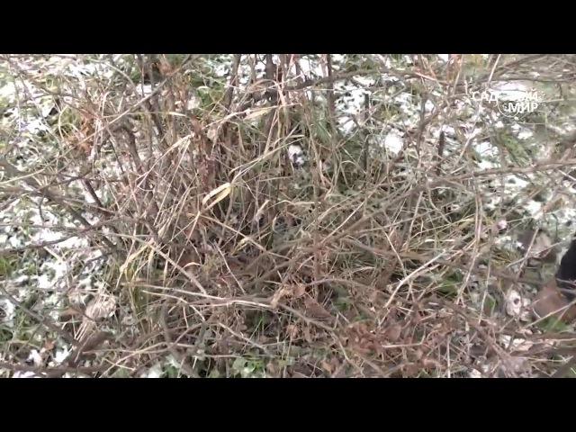 Обрезка крыжовника осенью. Секатор-кусторез Самурай. Сайт Садовый мир