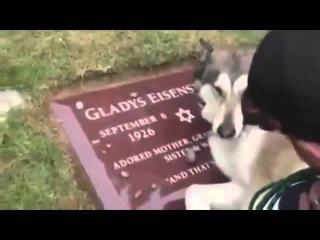 Преданность собаки после смерти хозяина!