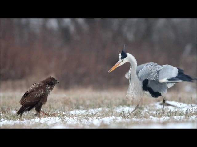Grey heron tries to steal common buzzard's meal / czapla siwa i myszołów / Canon 400mm 5.6 7D