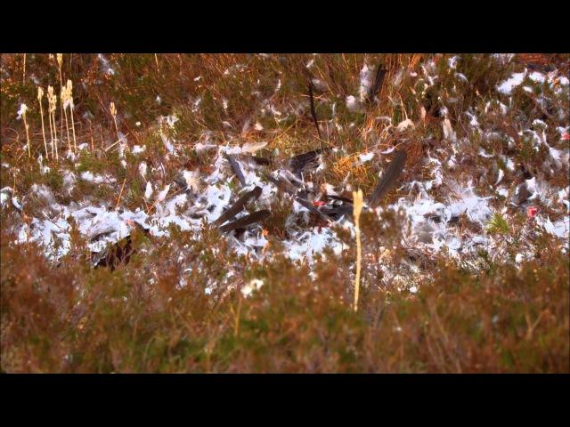Дикая природа Скандинавии. 2. Норвегия / Norway.1080p