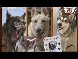 Переводчик с собачьего. «Волко-собаки: разлученные с природой».