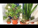 Толстянка (денежное дерево), Сансевьера (щучий хвост). Способы ухода, размножения, пересадки