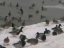 Утки в пойме реки Битца. Северное Бутово. Лед. СМОТРИ МОИ ВИДЮХИ