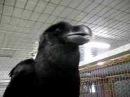 Mischief the talking raven