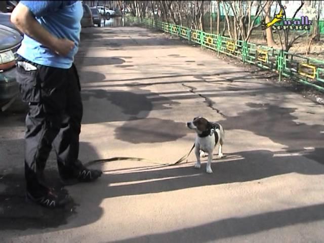 Как отучить собаку тянуть поводок и научить собаку ходить рядом