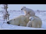 POLAR BEAR LOVE Cute polar bear cubs lovin' up their mamma