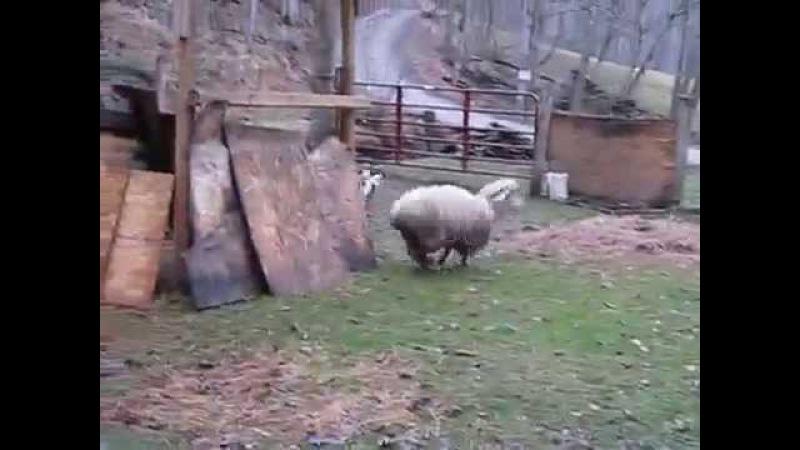Овца, которая думает, что она собака 2014