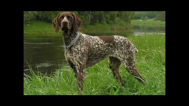 Собаки - Курцхаар
