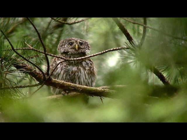 Воробьиный сычик / Eurasian Pygmy Owl / Glaucidium passerinum