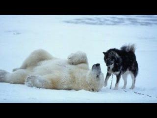 Видео подрыва Белой медведицы, взрыв пакетом подсунутым в еду