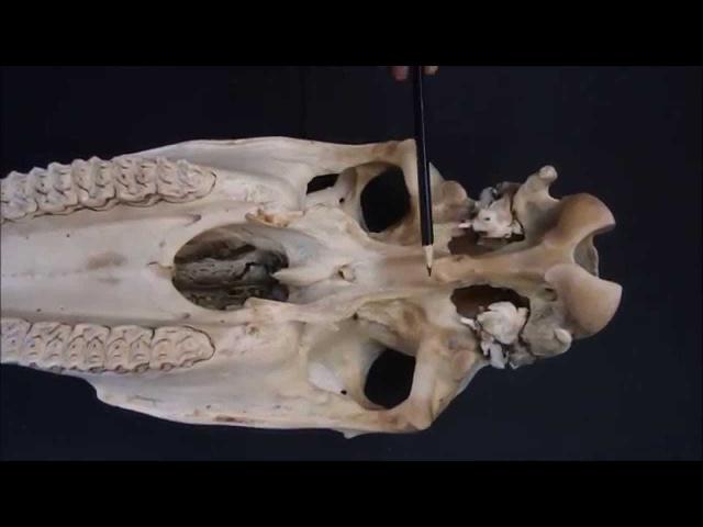 клиновидная кость домашних животных