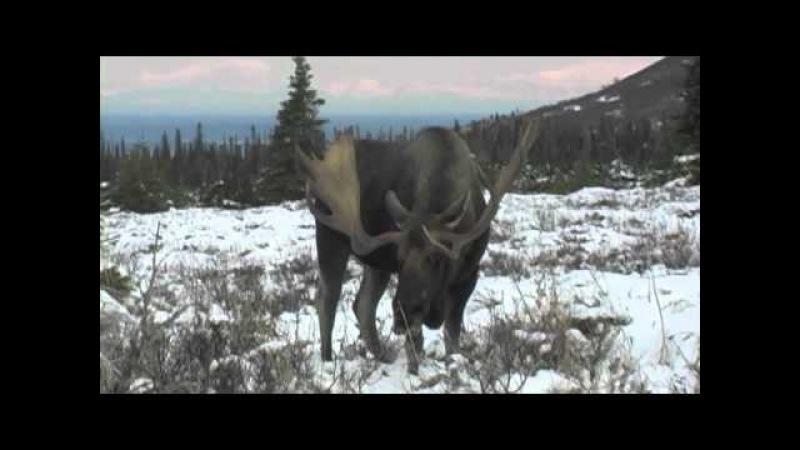 Alaska moose at 10 yeards