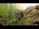 Тетра светлячок или Эритрозонус Hemigrammus erythrozonus