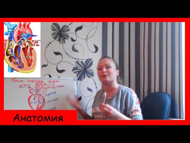 №14. Строение сердца и круги кровообращения   Биология ЕГЭ, ОГЭ