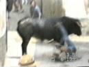 бык убивает жестоко людей