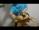Грифовая черепаха сурово есть ананас  巨大ワニガメパイナップル斬り Alligator snapping turtle snaps a Pineapple off