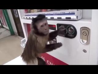 Обезьяна и автомат с напитками.