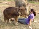 Маленький слоненок никак не может понять где же хобот у этого невиданного создания