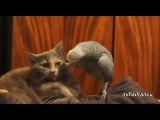 Parrot VS. Cats  Кот и попугай- Полная аудиодорожка