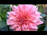 «ВСЕ ЦВЕТЫ - 2 » под музыку Н. Басков - Все цветы. Picrolla