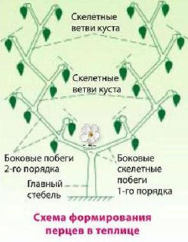 схема формирования перцев