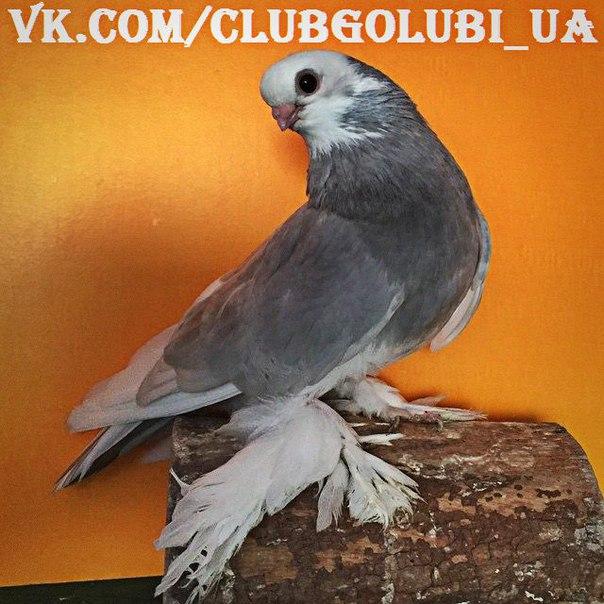 Иракский голубь