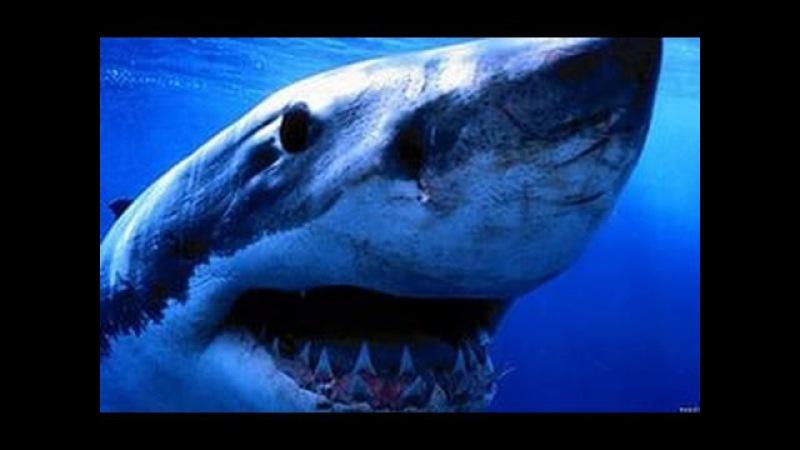 Неделя акул Остров гигантской акулЫ