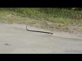 Змею переехала машина(польская музыка)