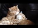 Страстный поцелуй кота