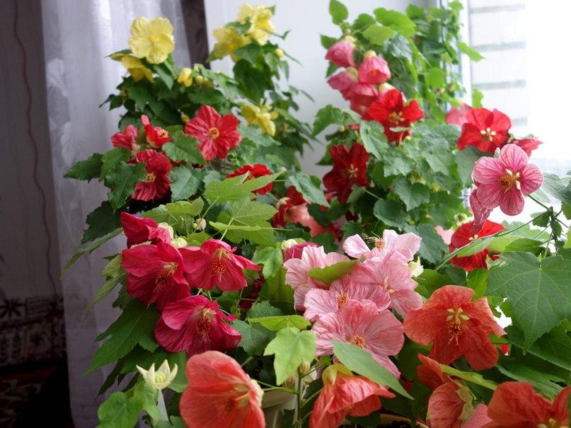 Абутилон - комнатный клен с цветами. Уход, размножение абутилона.