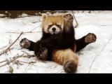 ТОП 5 Лучшие видео. Красная панда и первый снег. Red Panda and snow.