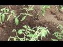 Технология выращивания томатов в теплице 05 06 2014