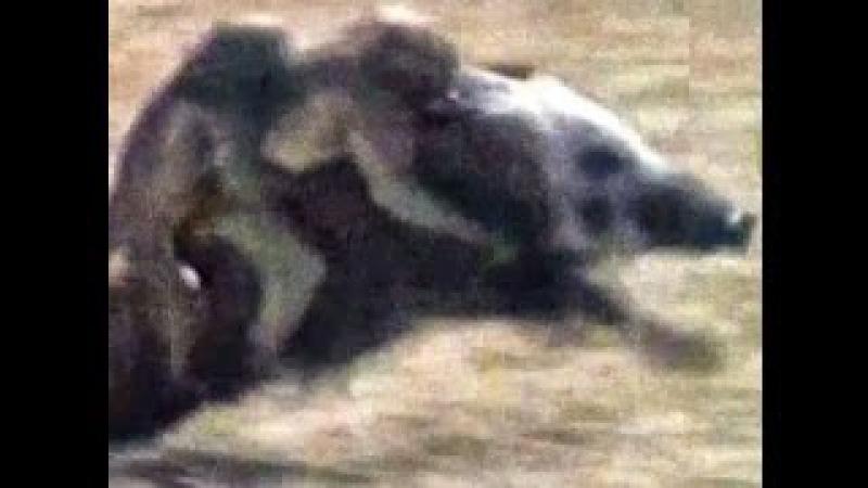 Охота из обезьянами на кабанов ОРИГИНАЛЬНОЕ ВИДЕО