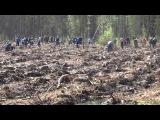 Посадка соснового леса. Тюмень, май 2015