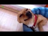 Американская улыбка собак )) Хоть бы не умереть от смеха))))))