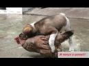 Секс животных 2015 часть 27 III А петух в шоке III