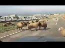 Coup de tête d'un mouton dans une voiture