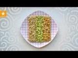 Как проращивать зерна. Очень детальная инструкция от Мармеладной Лисицы. WHEAT GERM