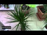 Как правильно поливать драцену? / How to properly irrigate Dracaena ?