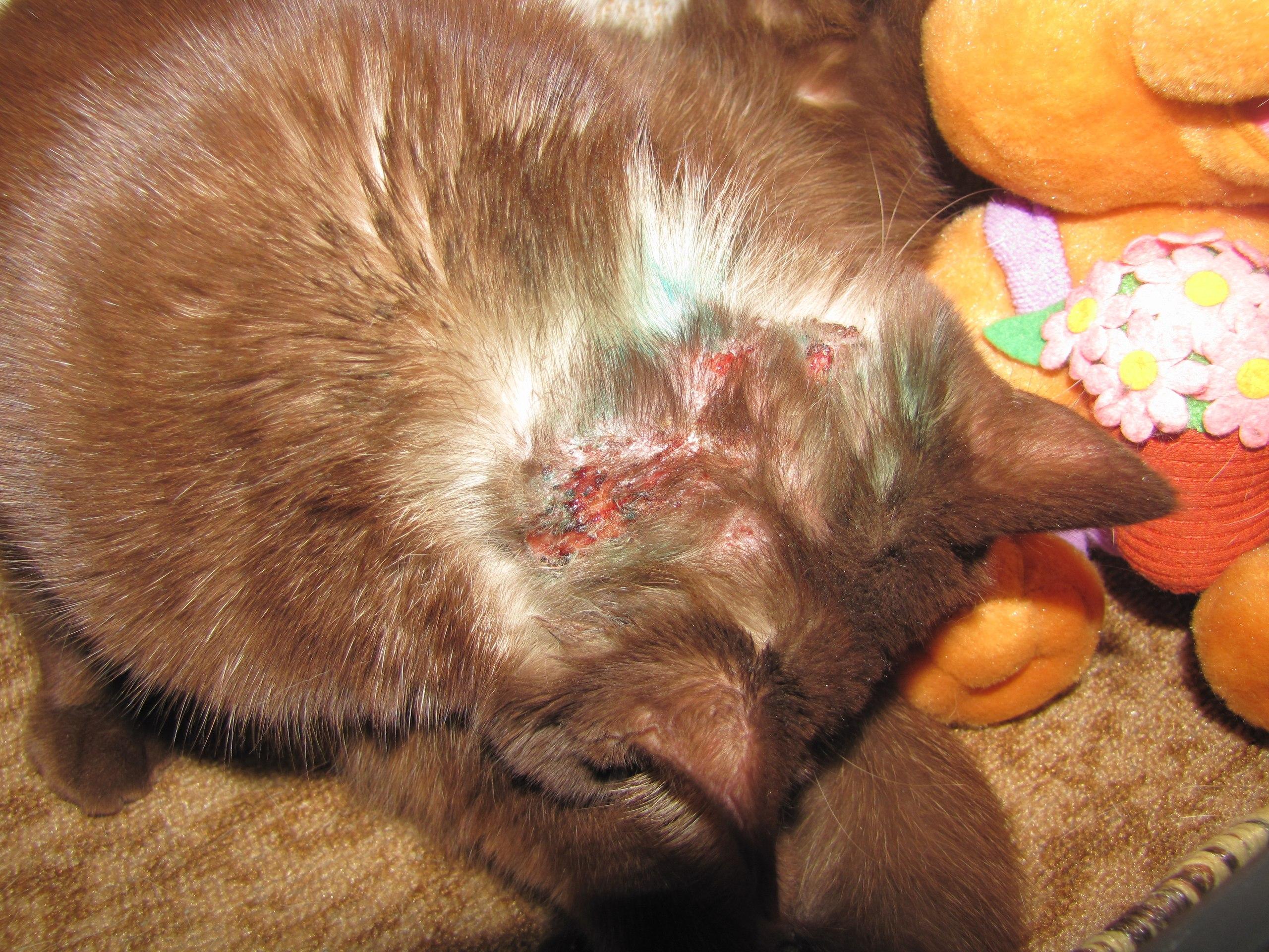 Почему кот расчесывает на шее
