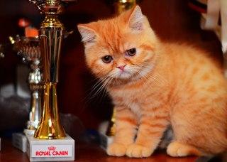 Коты персы купить спб