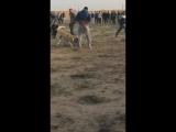 Собачьи бои афганский волкодав