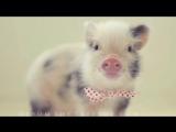 Albert The Mini Pig takes a bath!  Альберт мини-пиг принимает ванну!