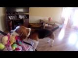 Собака забрала у ребенка игрушку и просит прощение